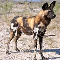 Cão Selvagem